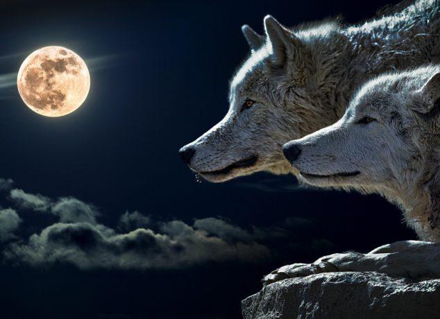 wolf-547203_1920